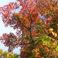 コミネカエデ の紅葉