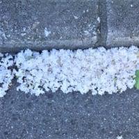 夏の花、散り敷いて