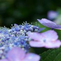 ●紫陽花に小さなヒラタアブ (紫陽花コンペイトウに)  モンシロチョウ
