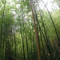 霧雨の竹やぶ
