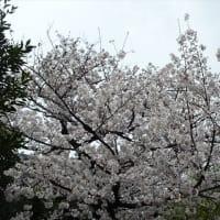 「桜」/梅屋敷公園2020