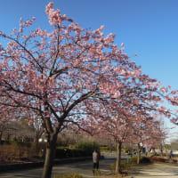 マッキーの『四季を楽しむ』:河津桜が咲き始めた