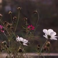 今どき咲いている花(サザンカ、他)