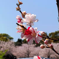 中日新聞に載っていたので高砂山公園に行ってきました。