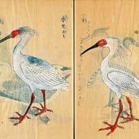 大正期に加茂市で朱鷺の絶滅報告がなされたなら、加茂で朱鷺の再生復活がなされても良し!