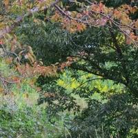 ●ウオーキングしながらカメラ(散歩) ススキ ミゾソバ トンボ ウラナミシジミ 柿 ツタの紅葉