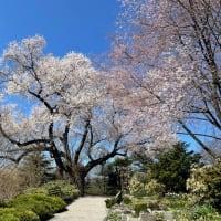 ★ニューヨークの桜の季節