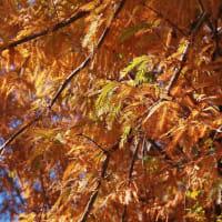 オレンジに染まるメタセコイア