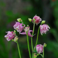 菊咲きオダマキ