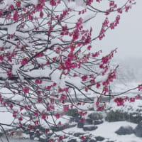 なごり雪降り頻る...あづま総合運動公園にて(2020.3.29)#1 イチョウ並木の雪景色、そして寒緋桜