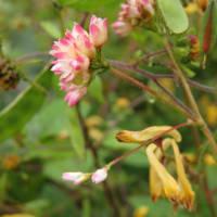 ミゾソバと各種花