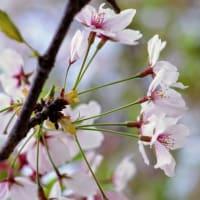 風に押されて散る桜