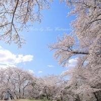 超広角で桜撮影:EOS RP vs iPhone11