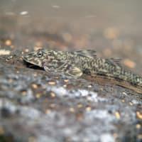 ツバサハゼ Rhyacichthys aspro (Valenciennes, 1837) 西表島(2013/05/06) No.25