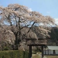 発知のヒガン桜と発知新田のシダレ桜