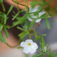 ●我が家の12月の花(8)スノードロップ(雪のしずく)オキザリス・パーシーカラー 八重のプリムラ