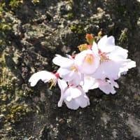 春に咲いた、瑞泉寺冬桜