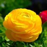 黄花のラナンキュラス