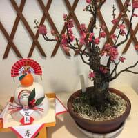 玄関に鏡餅と並べて飾った盆栽梅が正月らしさを・・・