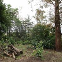 高木の伐採準備