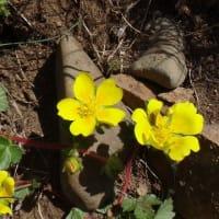 15.礼文島の可憐な花たち