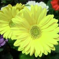 ガーベラの花は