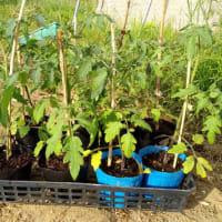 トマトの植え付け(中玉)