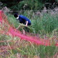 古代米の刈り取り (浦安市・弁天ふれあいの森公園)