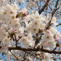 桜の園にて