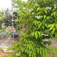 梅雨時の不調、原因は… 低気圧が自律神経乱す/収穫直前のビワの実を食べられた!楠の木を切り詰めました。