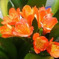 「クンシラン」・・・ようやく開花・・・普通は、3~5月開花なのに・・・これも異常気象の影響?
