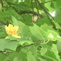 ユリノキの花は