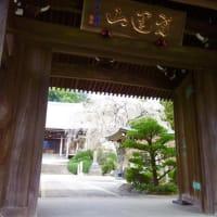 町田駅側の青柳寺のしだれ桜2020/3/27