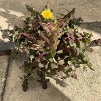 タンポポがタイルの間から元気に咲いている