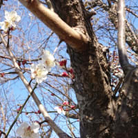 梅 開花。