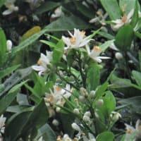タンカンの花 ミカン科