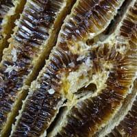 ♪日本ミツバチ 採蜜♪