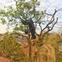 柑橘系みかんの枝おろし作業