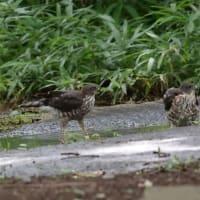 水浴びしようね、2羽のツミの若鳥。
