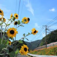 東海道本線 近江長岡-柏原 ヒマワリとキバナコスモスと311系 (2013年9月)