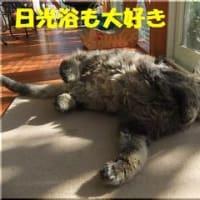 チンチラゴールデン成猫のオス