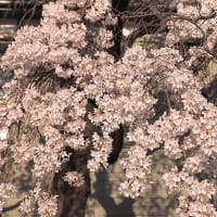 ★長持ちする桜🌸 2020