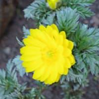 庭で咲く花「フクジュソウ(福寿草?)」② !!
