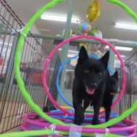 新入犬のミニチュアシュナウザーの【レナちゃん】 犬のしつけ教室@アロハドギー