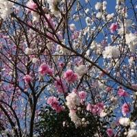 桃の花 満開!