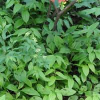 我家の庭の花 コデマリ(小手鞠)