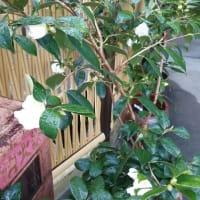 白侘助 やっと咲き始めました
