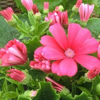 サイネリアの花は