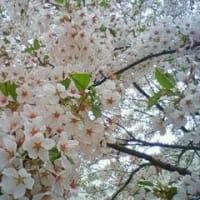 桜が咲いてますよ