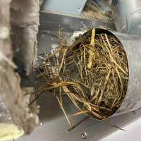 レンジフードの中に鳥の巣がありました